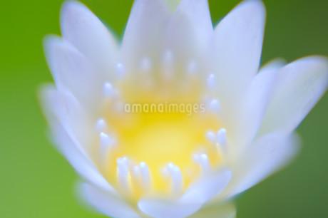 白く可憐な睡蓮の花のアップの写真素材 [FYI01255499]