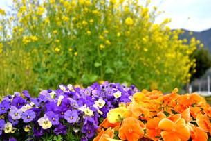 愛鷹運動公園の花の写真素材 [FYI01255549]