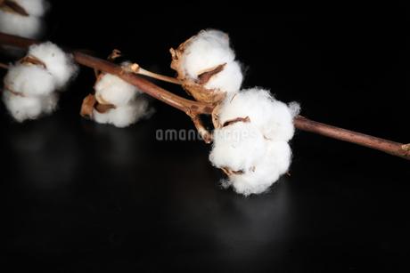 綿花の写真素材 [FYI01255557]