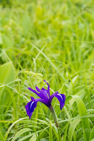 湿原のアヤメ カキツバタの写真素材 [FYI01255679]