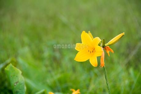 湿原の黄色い花 エゾカンゾウの写真素材 [FYI01255681]