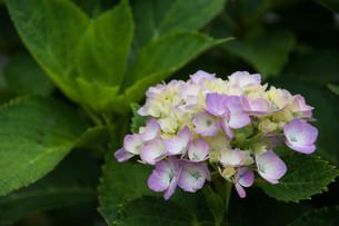 薄紫色のアジサイの写真素材 [FYI01255687]