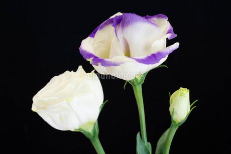 黒背景の紫色の縁取りのあるトルコキキョウの写真素材 [FYI01255692]