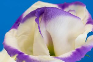 青背景の紫色の縁取りのあるトルコキキョウの写真素材 [FYI01255694]