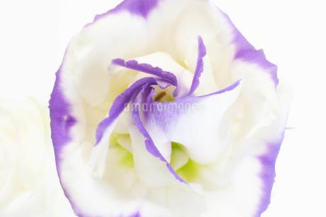 紫色の縁取りのあるトルコキキョウの写真素材 [FYI01255695]