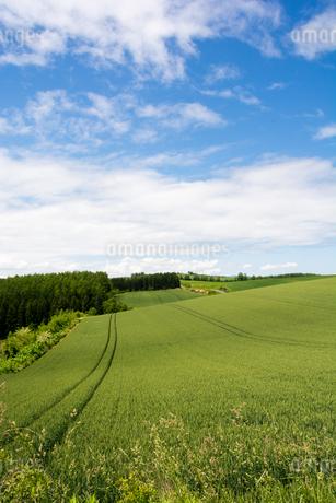 緑のムギ畑と青空の写真素材 [FYI01255697]