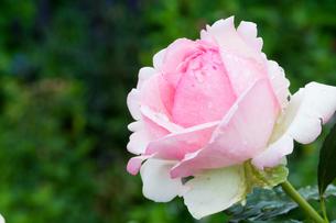 雨上がりのピンクのバラの写真素材 [FYI01255700]