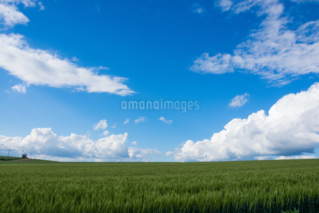 緑のムギ畑と青空の写真素材 [FYI01255701]