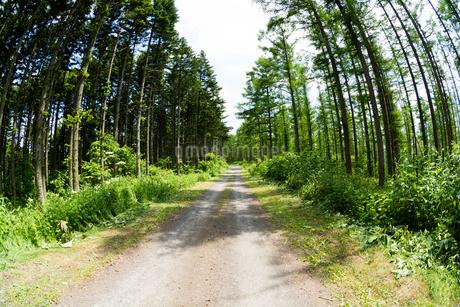 新緑のカラマツ林と砂利道の写真素材 [FYI01255704]