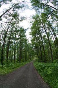 新緑のカラマツ林と砂利道の写真素材 [FYI01255705]