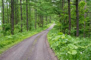 新緑のカラマツ林と砂利道の写真素材 [FYI01255706]