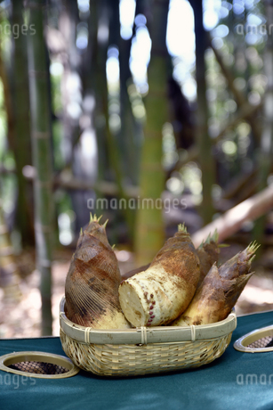 掘ったばかりの筍の写真素材 [FYI01255774]
