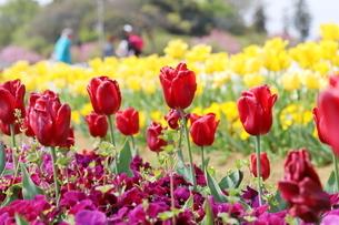 赤いチューリップが咲く花壇の写真素材 [FYI01255826]