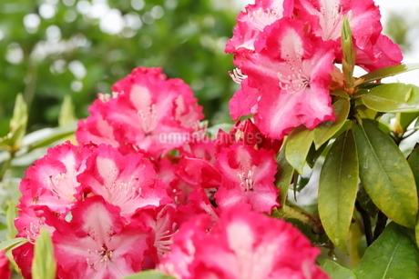 春の植物園に咲くピンク色のシャクナゲの花の写真素材 [FYI01255833]