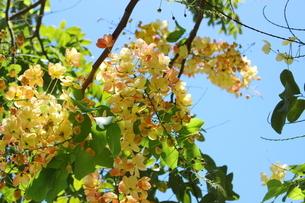 南国ハワイの花 レインボーシャワーの写真素材 [FYI01255838]