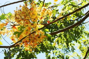 南国ハワイの花 レインボーシャワーの写真素材 [FYI01255839]