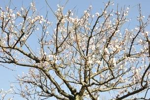梅の木の写真素材 [FYI01255950]