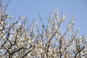 梅の木の写真素材 [FYI01255951]