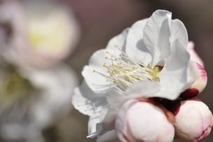 梅の木 御文章の写真素材 [FYI01255952]
