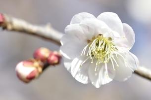 梅の木 御文章の写真素材 [FYI01255955]