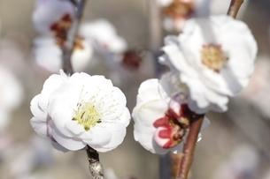 梅の木 東の錦の写真素材 [FYI01255956]