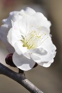梅の木 東の錦の写真素材 [FYI01255958]