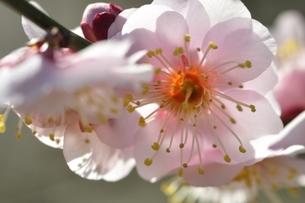 梅の木 八重旭の写真素材 [FYI01255967]
