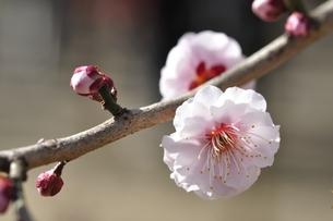 梅の木 八重旭の写真素材 [FYI01255968]