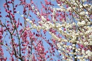 満開の紅白梅の写真素材 [FYI01255989]