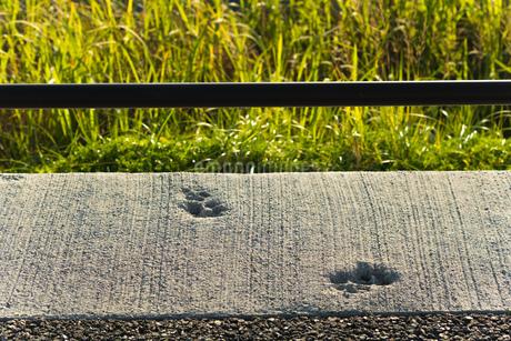 コンクリートについた動物の足跡の写真素材 [FYI01256333]