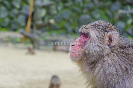 高崎山の猿の写真素材 [FYI01256378]