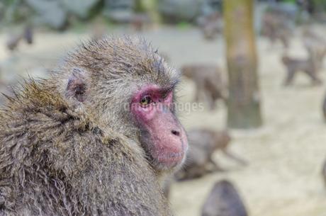 高崎山の猿の写真素材 [FYI01256379]