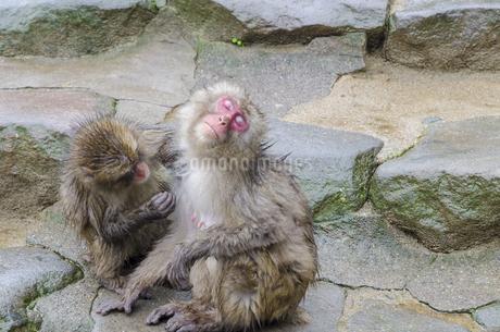 高崎山の猿の写真素材 [FYI01256380]