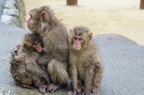 高崎山の猿の写真素材 [FYI01256381]