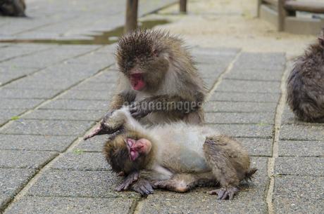 高崎山の猿の写真素材 [FYI01256382]