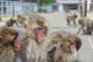 高崎山の猿の写真素材 [FYI01256383]