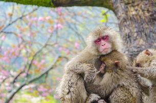 高崎山の猿の写真素材 [FYI01256384]