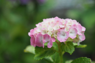 雨に濡れた紫陽花の写真素材 [FYI01256425]