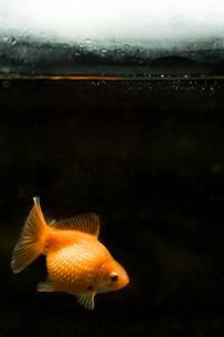水槽で泳ぐピンポンパールの写真素材 [FYI01256496]