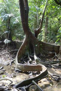 スオウの木の根の写真素材 [FYI01256503]