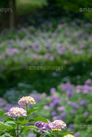 梅雨の晴れ間の紫陽花の写真素材 [FYI01256519]