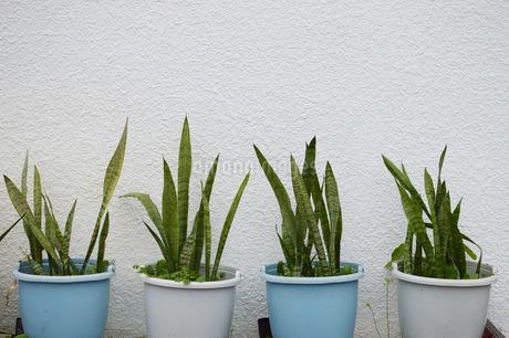 植木鉢の植物の写真素材 [FYI01256527]