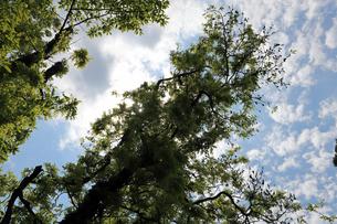 藤がからまったクヌギの木と晴天の写真素材 [FYI01256618]