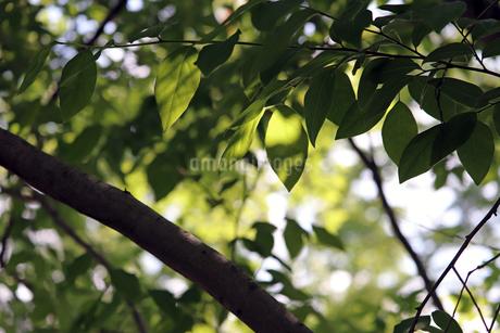 ヤマコウバシの木漏れ日の写真素材 [FYI01256619]