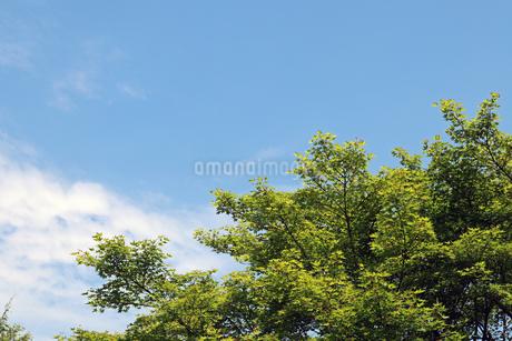 新緑の青もみじの木と晴天の写真素材 [FYI01256622]