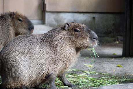 草を食べるカピバラの写真素材 [FYI01256647]
