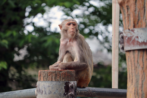 サル山に座るアカゲザルの写真素材 [FYI01256659]