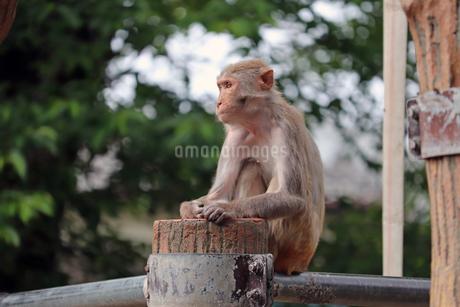 サル山に座るアカゲザルの写真素材 [FYI01256660]