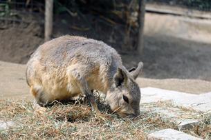 草を食べるマーラの写真素材 [FYI01256672]