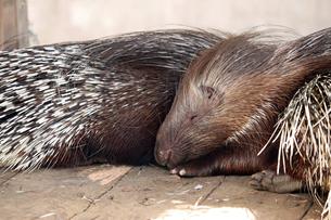 眠るヤマアラシの写真素材 [FYI01256680]